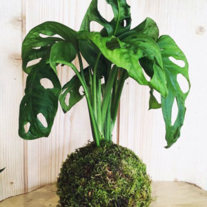 Kokedama Philodendron Obliqua