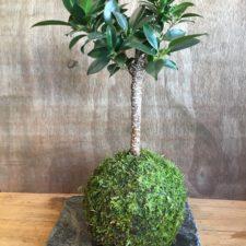 Ficus-annulata