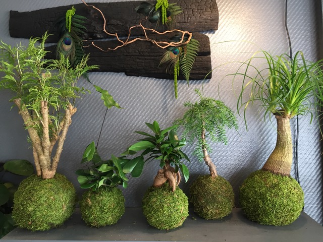 Kokedama créés par le boutique Kokenendo à Orléans