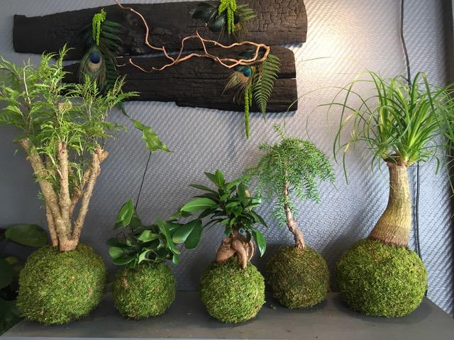 Kokedamas créés par la boutique Kokenendo à Orléans